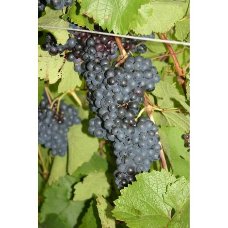 Rondo-vinplante