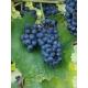 Nero-vinplanter