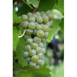 Muscaris-vinplanter