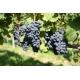 Cabernet-Noir-vinplanter