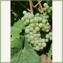 Riesling-vinplante