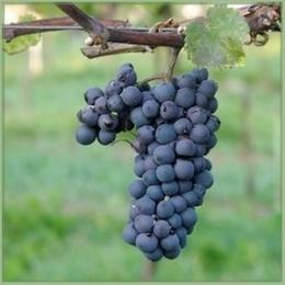 Leon-Millot-vinplante